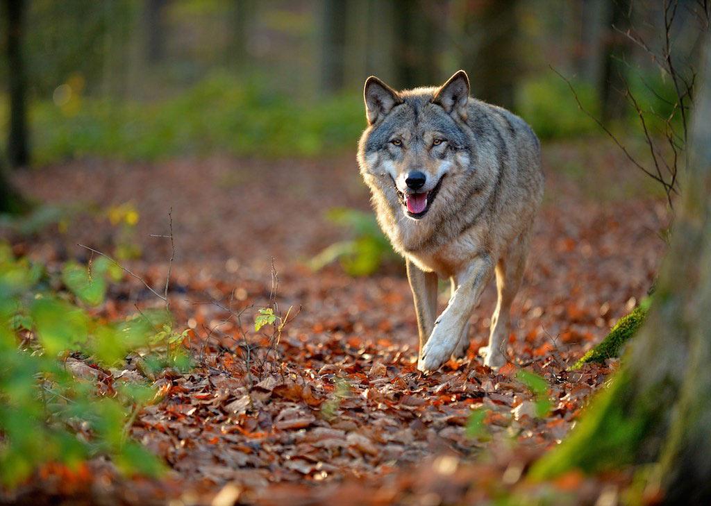 Der Wolf ist zurück - © M. Schönberger